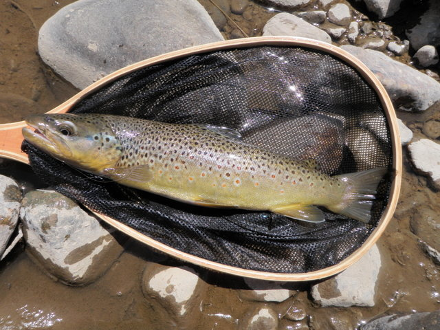6 Inch Brown Took Size 22 BWO