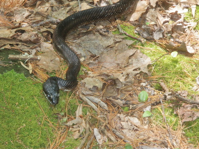 Six Foot Black Snake