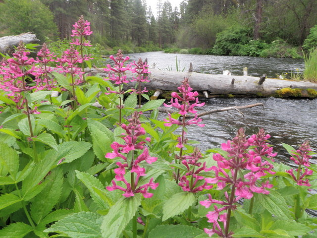 Wildflowers Along the Metolius