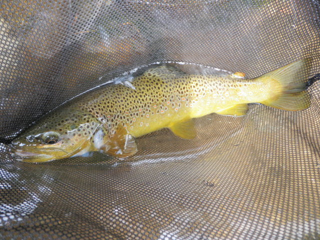 16 Inch Brown Duped by Black Ant After At Least Five Fly Changes