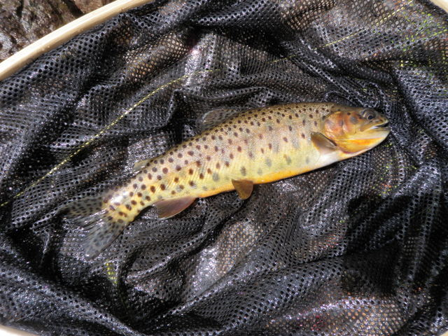 Pretty Cutthroat from North Fork of White River
