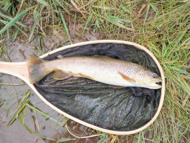 "16"" Brown from Brush Creek"