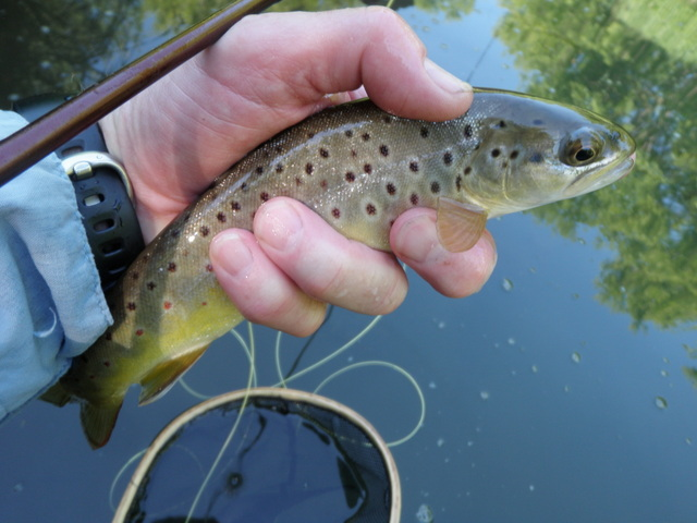 A Small Brown from Camp Creek in the Morning