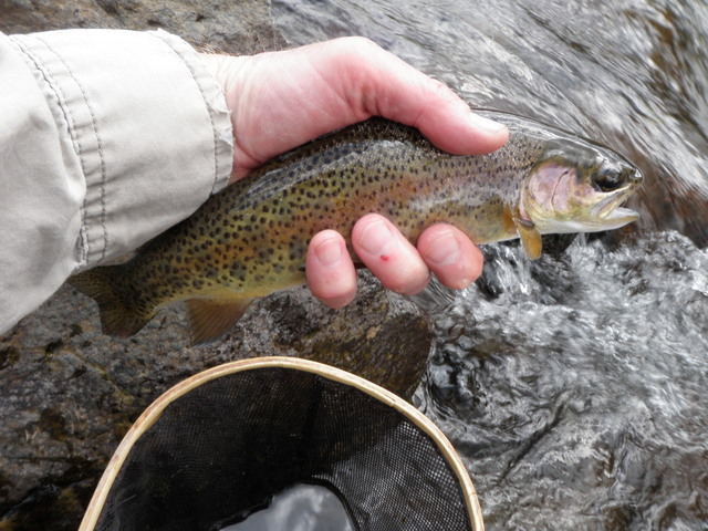 A Feisty Rainbow from the North Fork