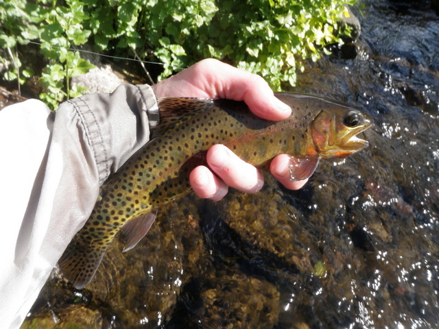 Pure Cutthroat or Cutbow?