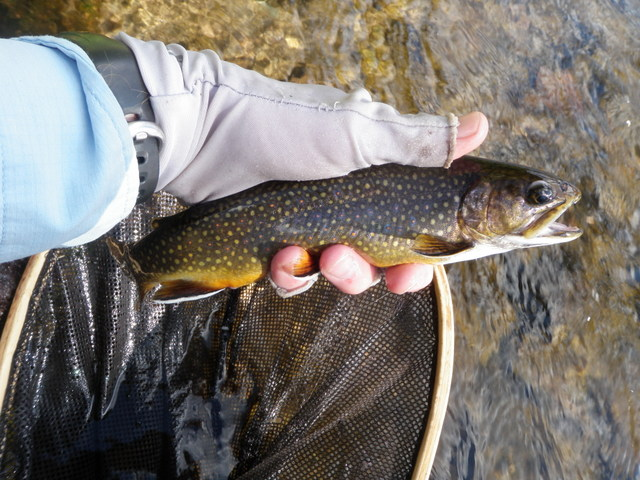 Another Deeply Colored Brook Trout