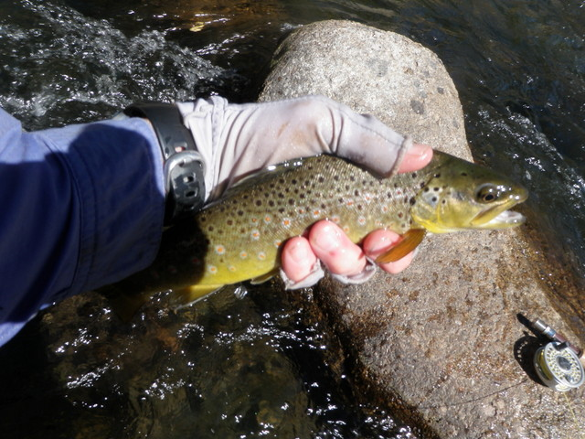 Brown Trout from Eagle River