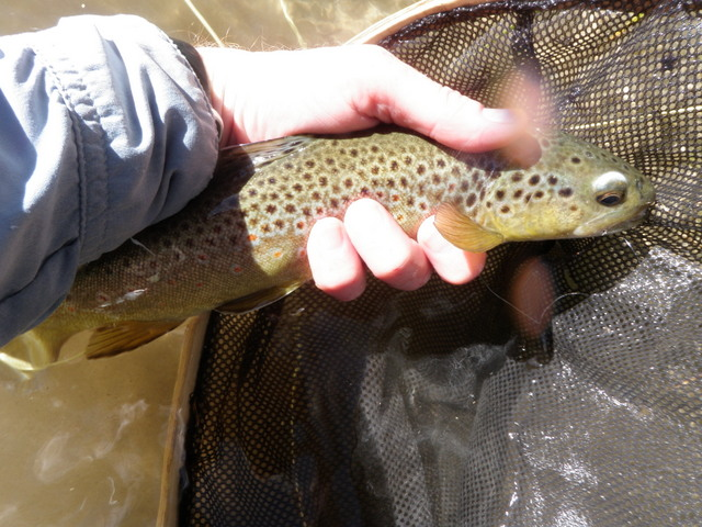 A Decent Brown Trout